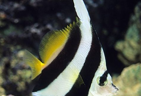Black & White Heniochus Butterflyfish