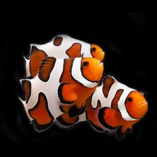 Gold Stripe Maroon Clownfish | Arizona Aquatic Gardens