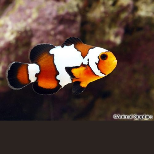 Black Ice Ocellaris Clownfish Tank Raised
