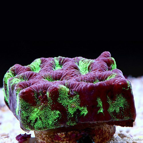 Favia Brain Coral Frag