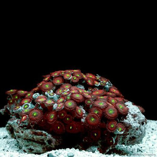 Polyps Green Button Coral
