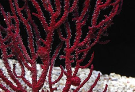 Sea Fan Assorted Tree Coral