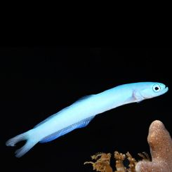 Saltwater Goby