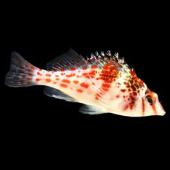 Marine-Hawkfish-Red-Spotted