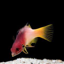Marine-Hogfish-Lyretail-Hogfish-Red-Sea