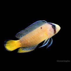 Marine Pseudochromis Splendid