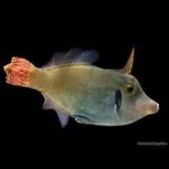 Marine-Redtail-Filefish