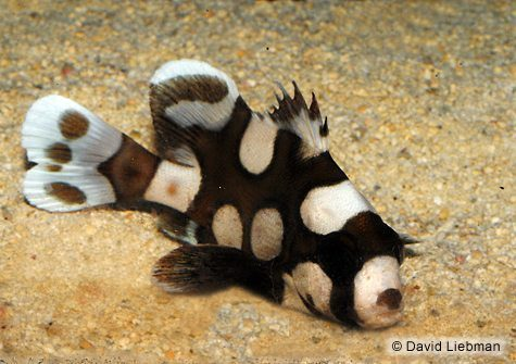 Harlequin Sweetlips