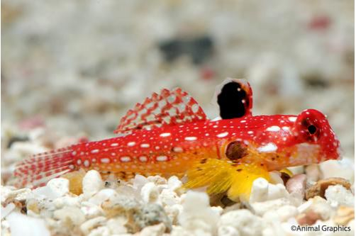 Red Scooter Blenny Male