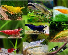 Aquarium Fish, Plants & Accessories - Arizona Aquatic GardensFreshwater Shrimp For Sale