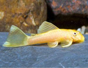 Albino Bushynose Pleco Algae Fish L-144