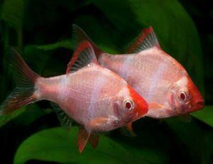 Albino Tiger Barb Tropical Fish