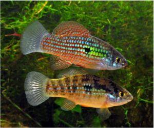 Algae Eating Adult American Flag Fish