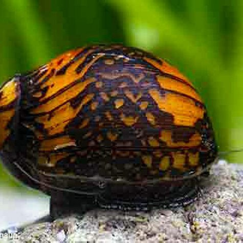 Algae Eating Bajingo Nerite Snail