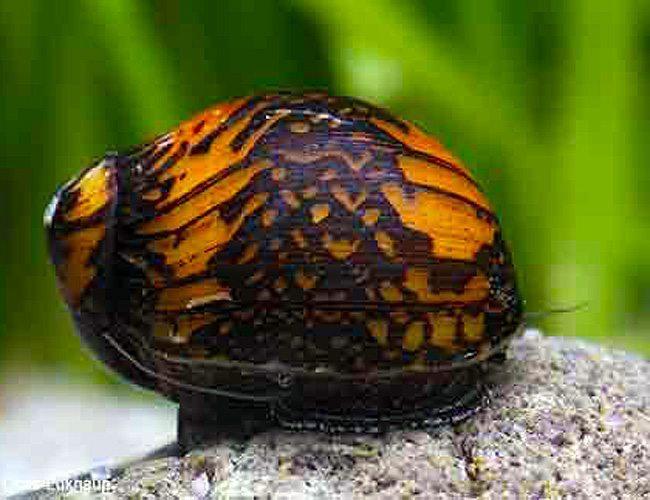 Algae Eating Bajingo Nerite Snail