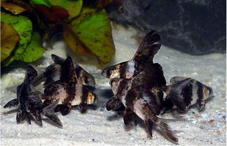 Algae Eating Chinese High Fin Banded Shark -Batfish