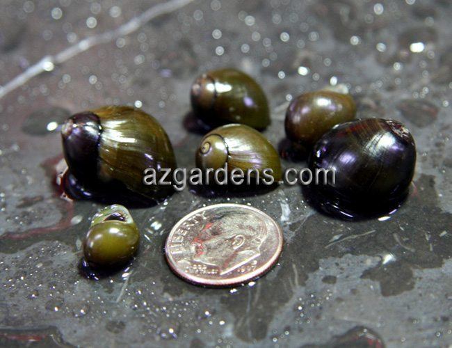 Algae Eating Olive Nerite Snail