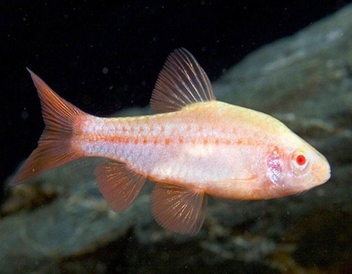 Albino cherry barb tropical fish arizona aquatic gardens for Cherry barb fish