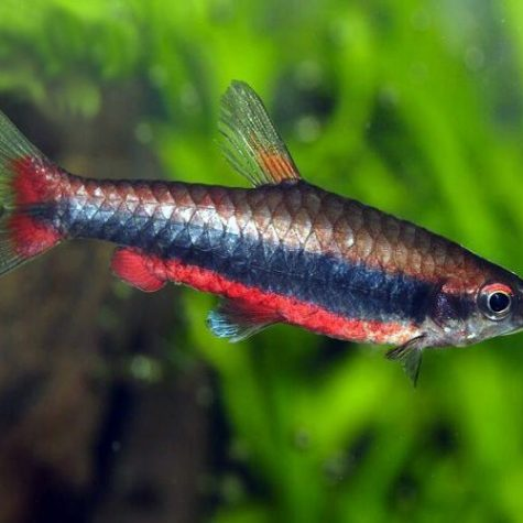 Beckford's Tropical Pencilfish