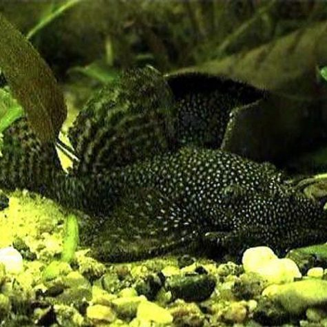 Black Bushynose Pleco Algae Fish L-144