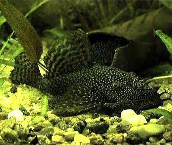 Black bushynose pleco algae fish l 144 arizona aquatic for Black algae in fish tank