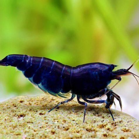 Blackberry Shrimp Caridina cf. cantonensis