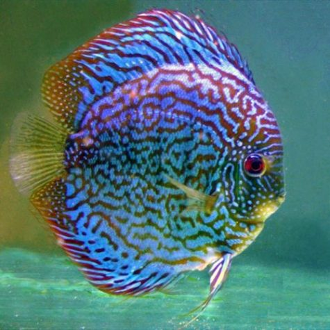Blue Checkerboard Discus Fish