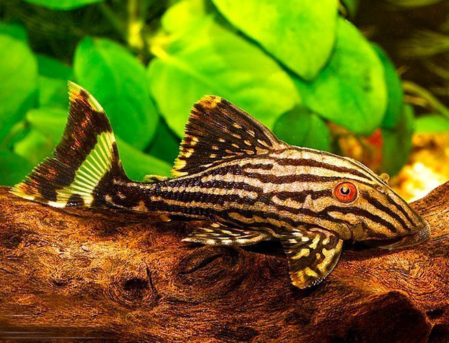Broken Line Royal Pleco Algae Fish