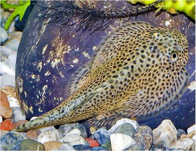 Loach Tropical Fish | Butterfly Hillstream Loach Algae Eater Arizona Aquatic Gardens