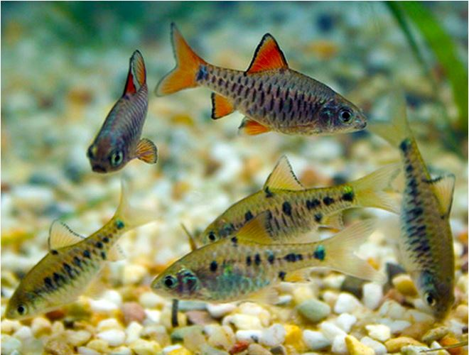 Checkered Barb Tropical Fish