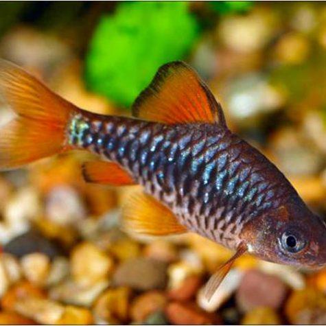 Checkered Barb Tropical Fish