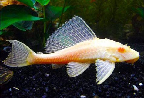Freshwater algae eaters archives arizona aquatic gardens for Freshwater pond fish