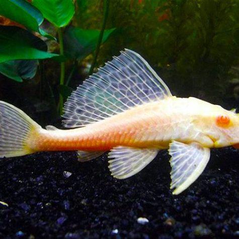 Chocolate Albino Plecostomus Pleco Pond Fish