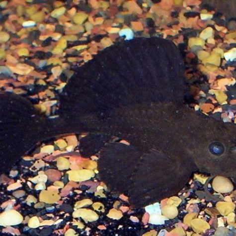 Chocolate Rhino Pleco