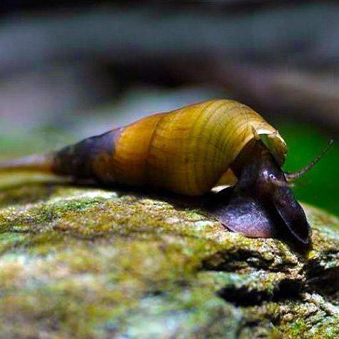 Chopstick Snail