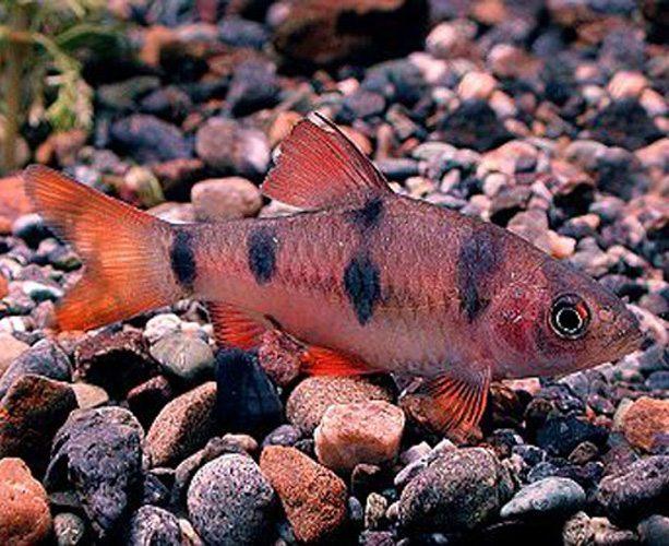 Clown barb tropical fish arizona aquatic gardens for Freshwater clown fish
