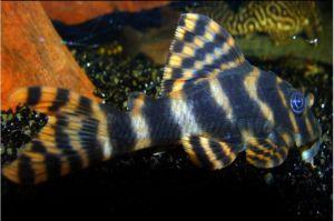 Clown Pleco Algae Fish L-103