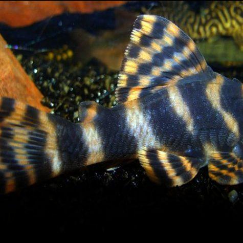 Clown Pleco Algae Pond Fish