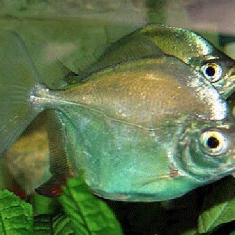 Counterfeit Silver Dollar Aquarium Fish