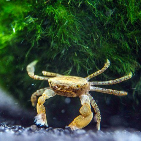 Freshwater Shrimp, Crayfish, & Crabs For Sale - Arizona Aquatic Gardens