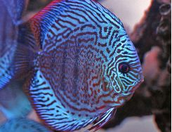 Freshwater Discus