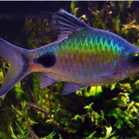 Filament Barb Tropical Fish