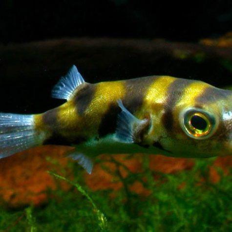 Freshwater Amazon Puffer