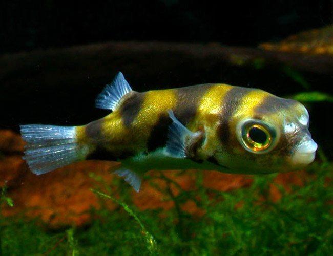 Freshwater amazon puffer colomesus asellus arizona for Amazon aquarium fish