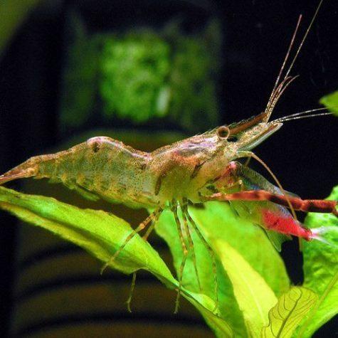 Freshwater Custodian/Scavenger Red Claw Shrimp