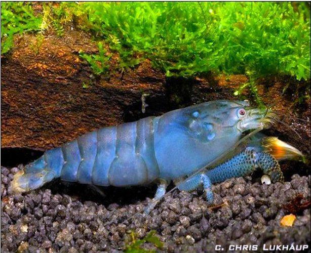 Freshwater Filter Feeding Viper Shrimp Atya gabonensis ...