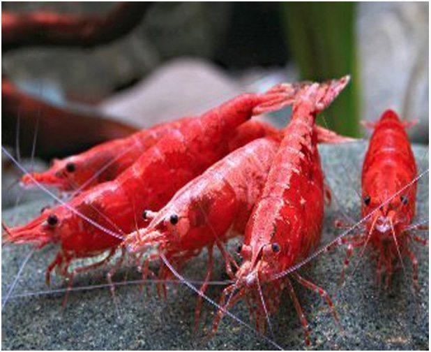 Freshwater Red Cherry Shrimp