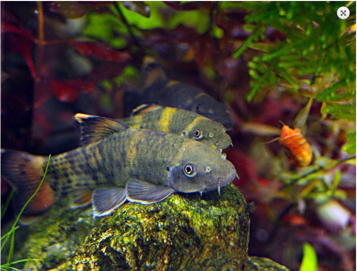 Garra fluvatra panda algae eater arizona aquatic gardens for Algae eating fish for ponds