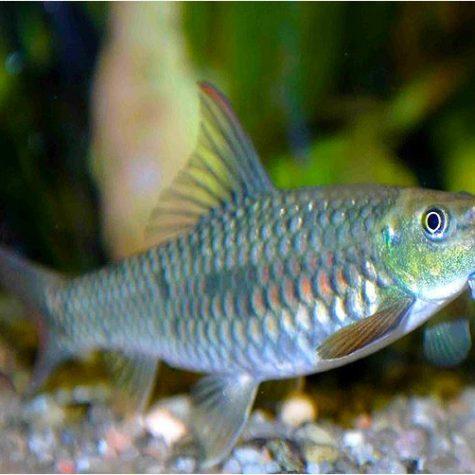 Garra Gotyla Gotyla Algae Eating Fish