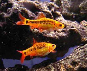 Gold Barb Tropical Fish